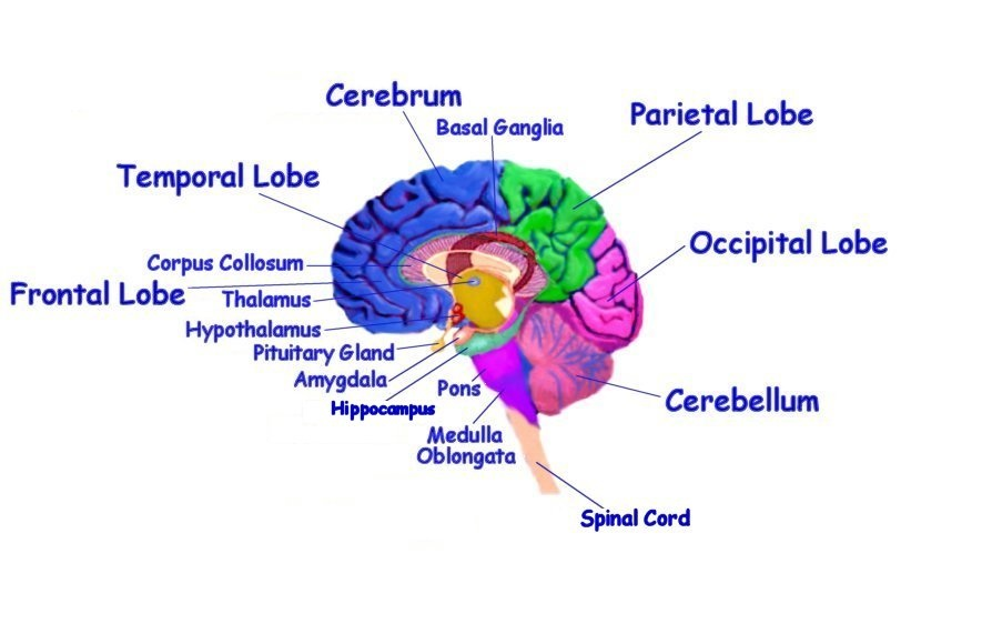 Gro brain diagram and functions of parts zeitgenssisch the human brain and law of attraction eft universe learn eft ccuart Gallery